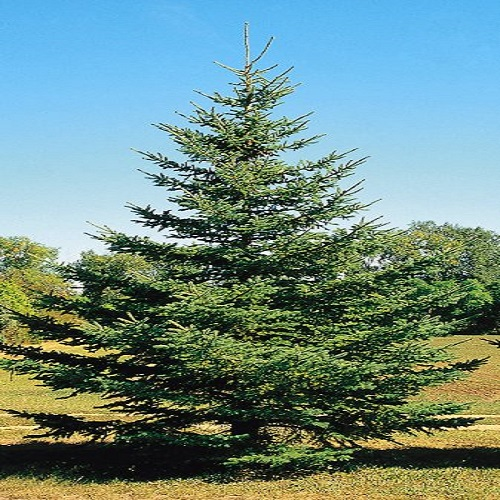 Christmas Tree Sales – The Club for Boys
